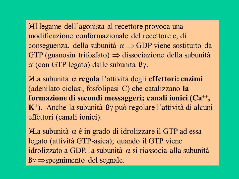 Il legame dellagonista al recettore provoca una modificazione conformazionale del recettore e, di conseguenza, della subunità GDP viene sostituito da