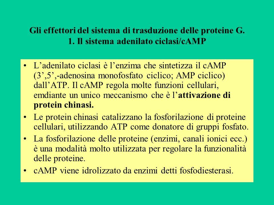Gli effettori del sistema di trasduzione delle proteine G. 1. Il sistema adenilato ciclasi/cAMP Ladenilato ciclasi è lenzima che sintetizza il cAMP (3
