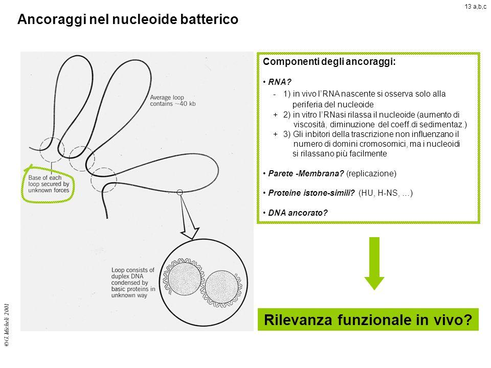 Ancoraggi nel nucleoide batterico ©G.Micheli 2001 Componenti degli ancoraggi: RNA? -1) in vivo lRNA nascente si osserva solo alla periferia del nucleo