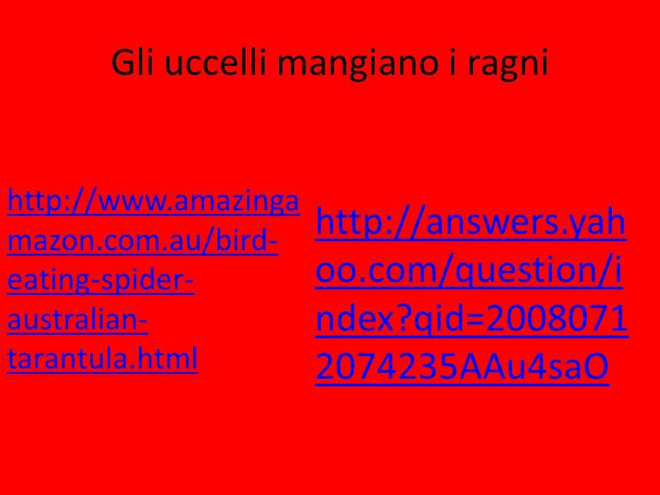 Gli uccelli mangiano i ragni http://www.amazinga mazon.com.au/bird- eating-spider- australian- tarantula.html http://answers.yah oo.com/question/i nde