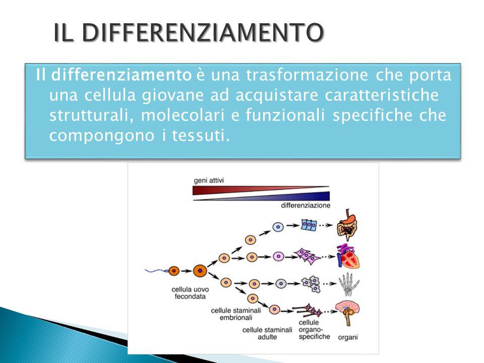 Il differenziamento è una trasformazione che porta una cellula giovane ad acquistare caratteristiche strutturali, molecolari e funzionali specifiche c