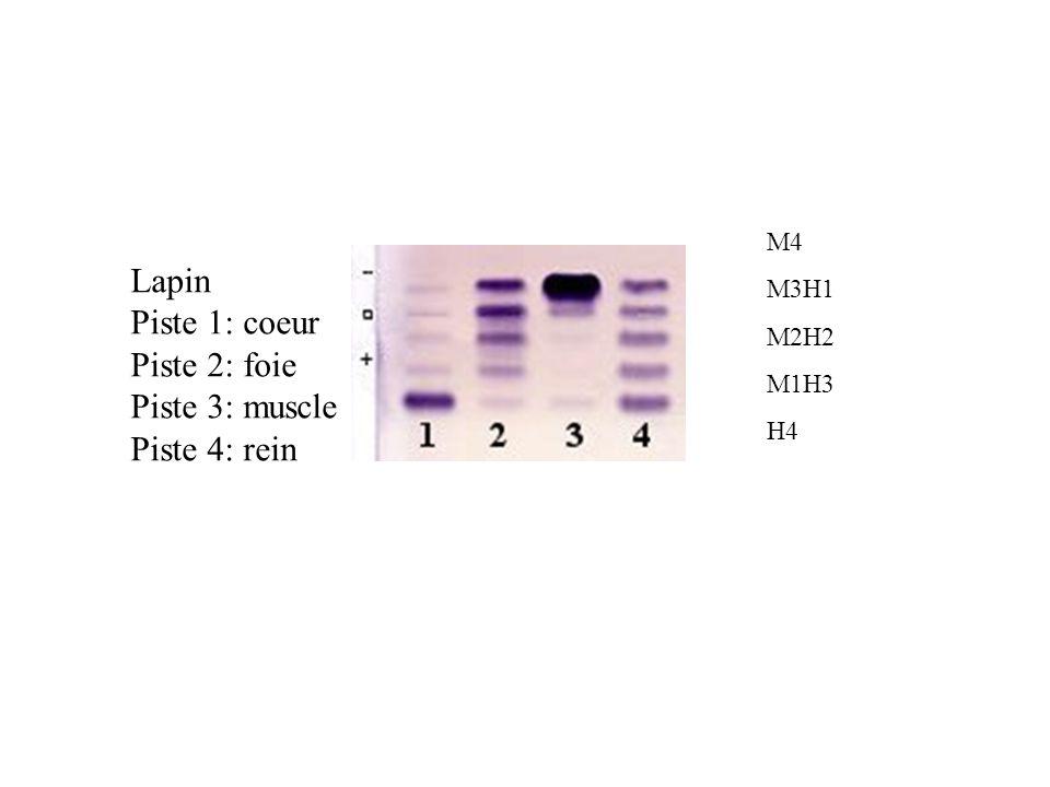 Lapin Piste 1: coeur Piste 2: foie Piste 3: muscle Piste 4: rein M4 M3H1 M2H2 M1H3 H4