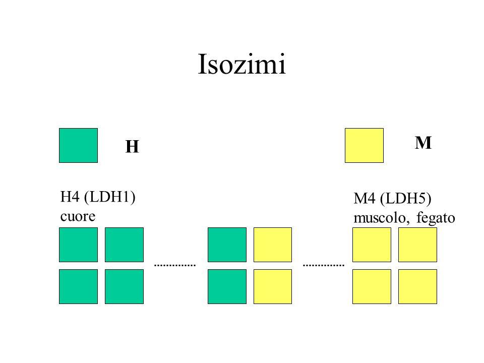 Distribuzione tissutale LDH1 (H4): muscolo cardiaco ed eritrociti dei piccoli animali; molto abbondante anche in fegato e rene nelle pecore e nei bovini LDH2 (H3M1): presente in tutti i tessuti LDH3 (H2M2): LDH4 (H1M3): LDH5 (M4): presente nel muscolo di tutte le specie e nel fegato di cavalli e piccoli animali