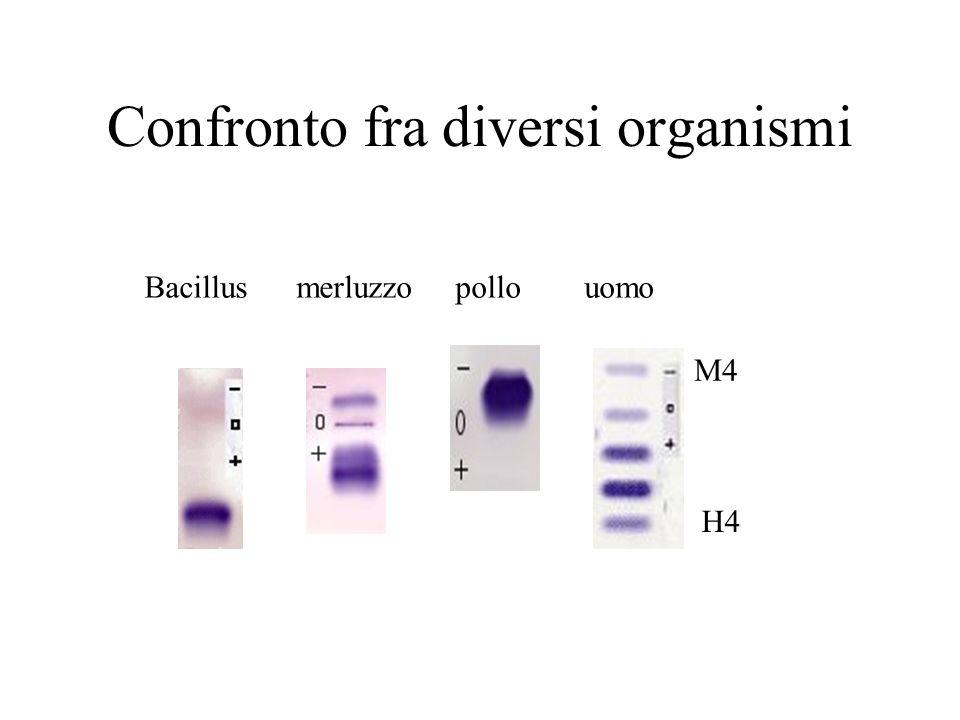 Bacillusmerluzzo pollouomo M4 H4 Confronto fra diversi organismi