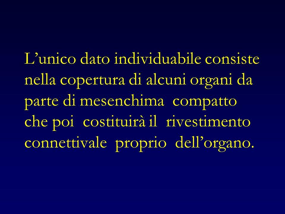 Lunico dato individuabile consiste nella copertura di alcuni organi da parte di mesenchima compatto che poi costituirà il rivestimento connettivale proprio dellorgano.