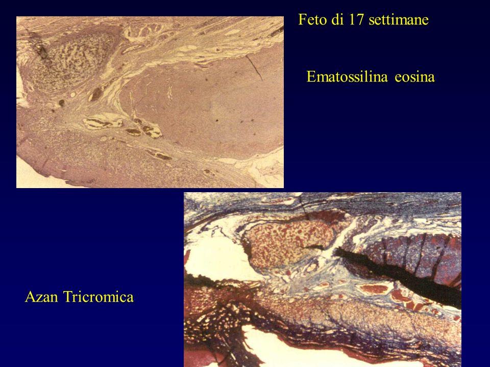 Ematossilina eosina Azan Tricromica Feto di 17 settimane