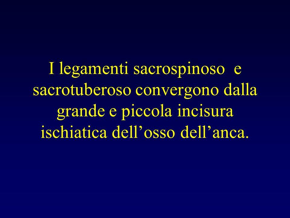 I legamenti sacrospinoso e sacrotuberoso convergono dalla grande e piccola incisura ischiatica dellosso dellanca.