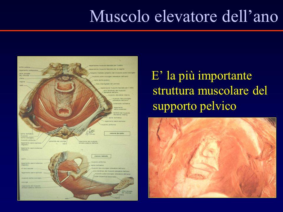 Muscolo elevatore dellano E la più importante struttura muscolare del supporto pelvico