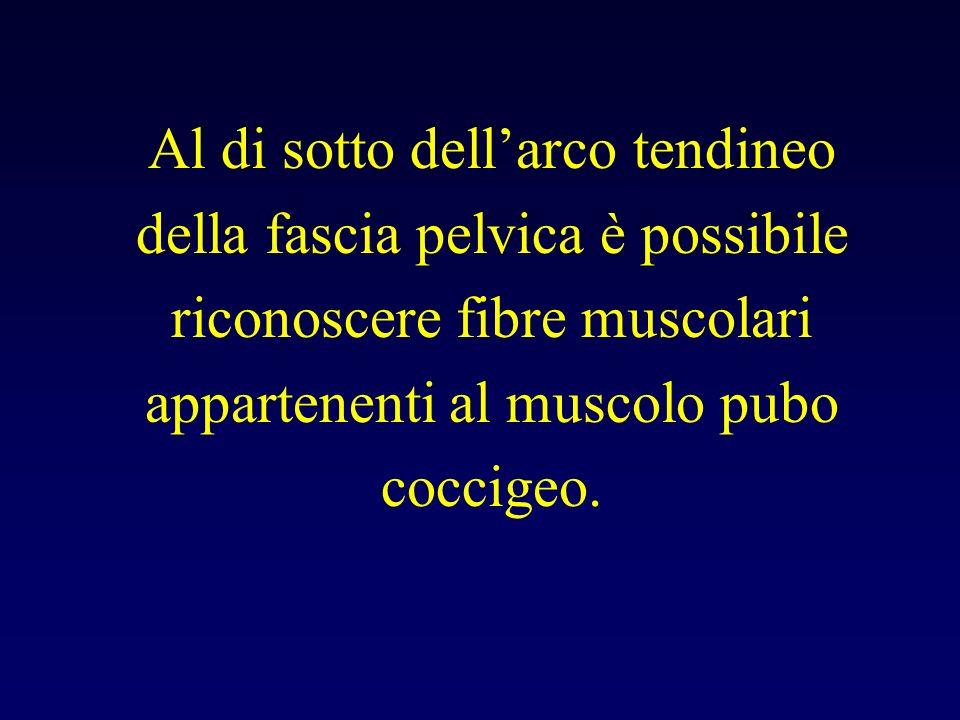 Al di sotto dellarco tendineo della fascia pelvica è possibile riconoscere fibre muscolari appartenenti al muscolo pubo coccigeo.
