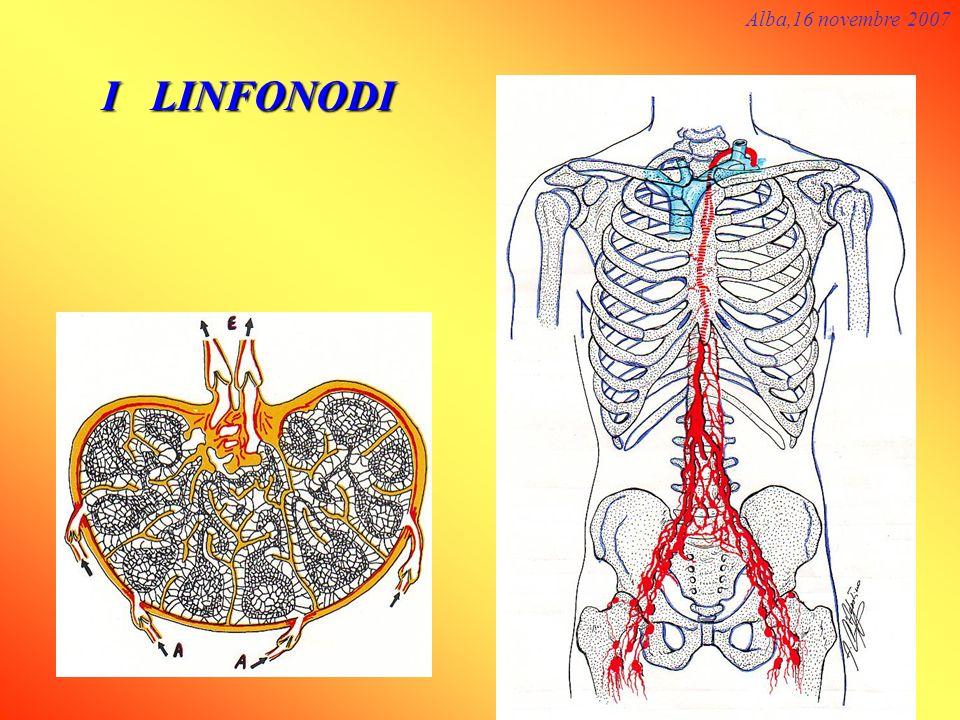 I LINFONODI Alba,16 novembre 2007