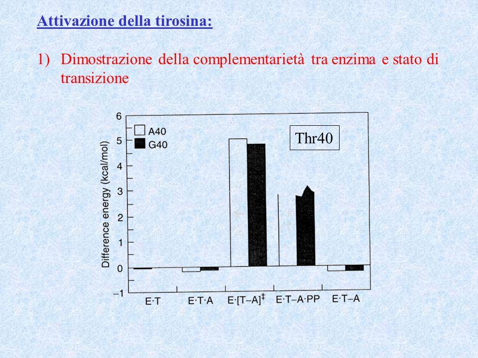 Attivazione della tirosina: 1)Dimostrazione della complementarietà tra enzima e stato di transizione Thr40