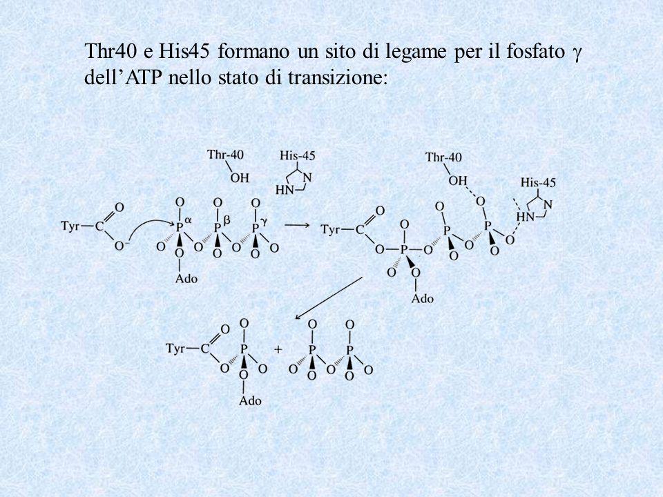 Thr40 e His45 formano un sito di legame per il fosfato dellATP nello stato di transizione: