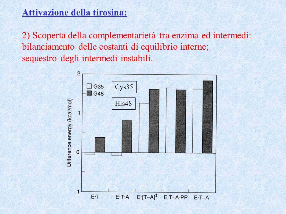 Attivazione della tirosina: 2) Scoperta della complementarietà tra enzima ed intermedi: bilanciamento delle costanti di equilibrio interne; sequestro