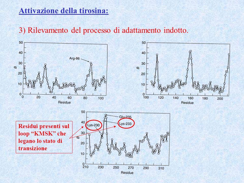 Attivazione della tirosina: 3) Rilevamento del processo di adattamento indotto. Residui presenti sul loop KMSK che legano lo stato di transizione
