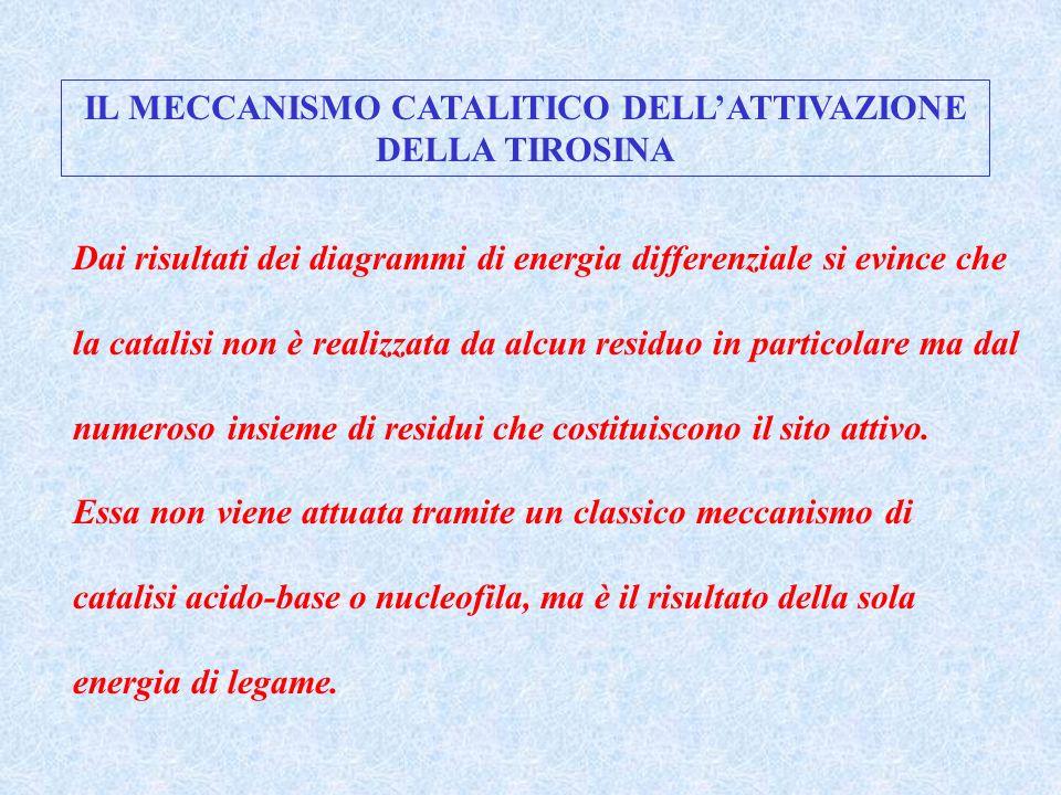 IL MECCANISMO CATALITICO DELLATTIVAZIONE DELLA TIROSINA Dai risultati dei diagrammi di energia differenziale si evince che la catalisi non è realizzat