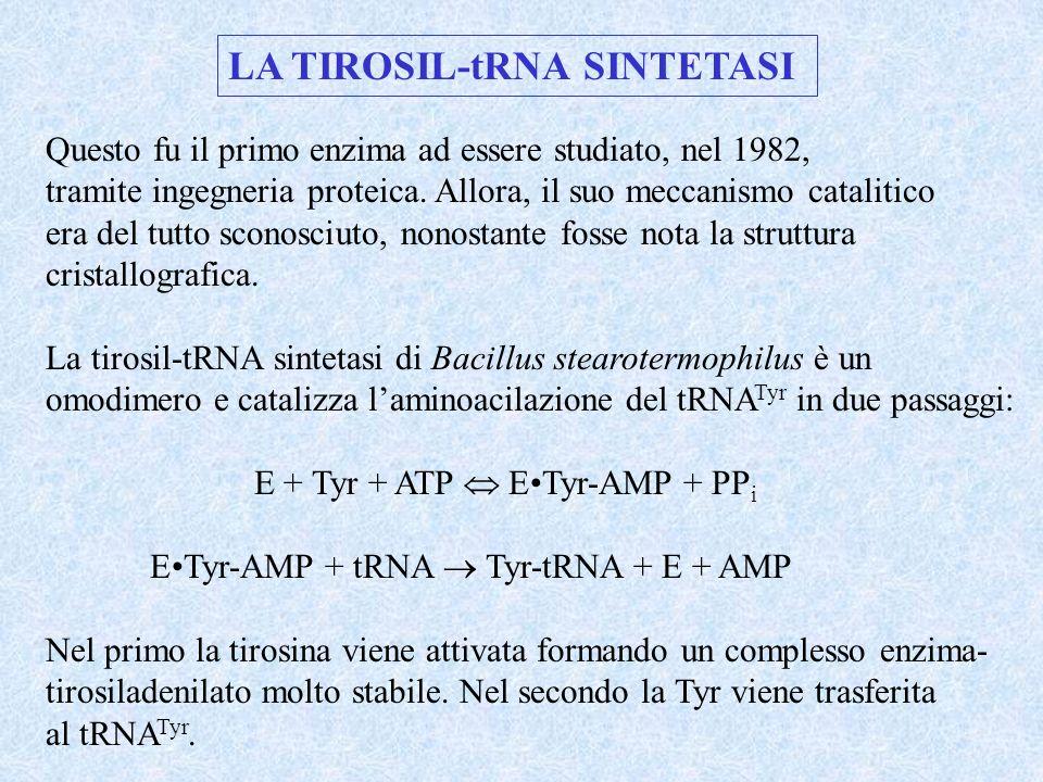 LA TIROSIL-tRNA SINTETASI Questo fu il primo enzima ad essere studiato, nel 1982, tramite ingegneria proteica. Allora, il suo meccanismo catalitico er