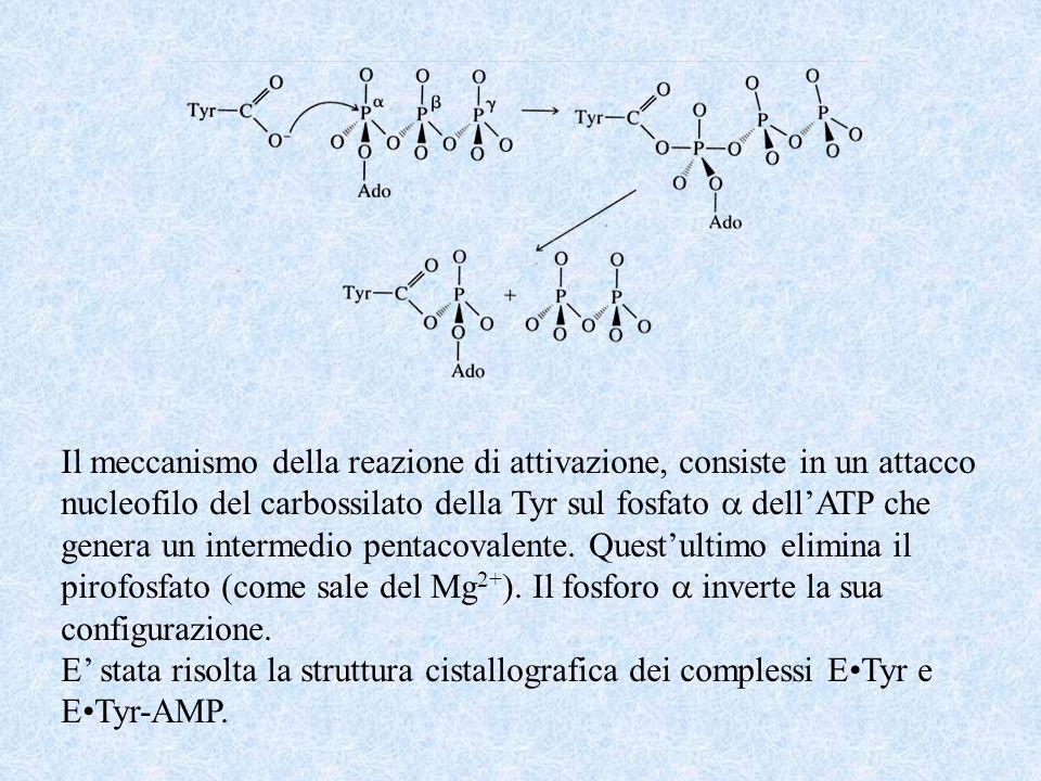 Il meccanismo della reazione di attivazione, consiste in un attacco nucleofilo del carbossilato della Tyr sul fosfato dellATP che genera un intermedio