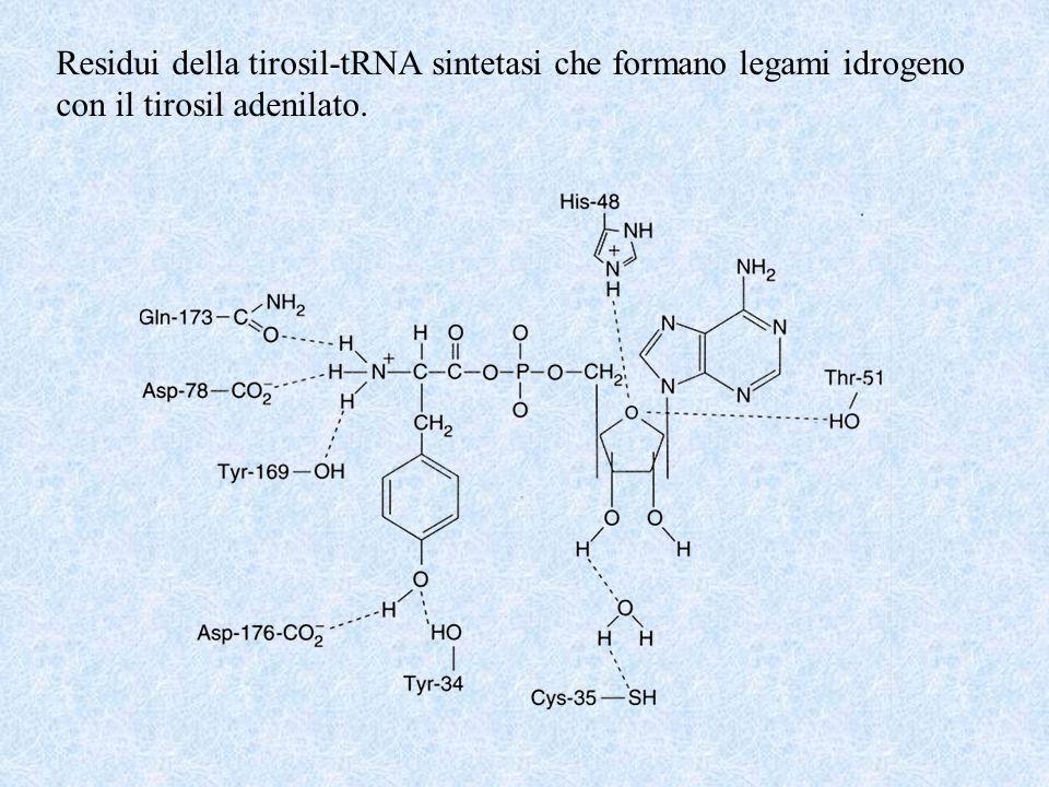 Residui della tirosil-tRNA sintetasi che formano legami idrogeno con il tirosil adenilato.