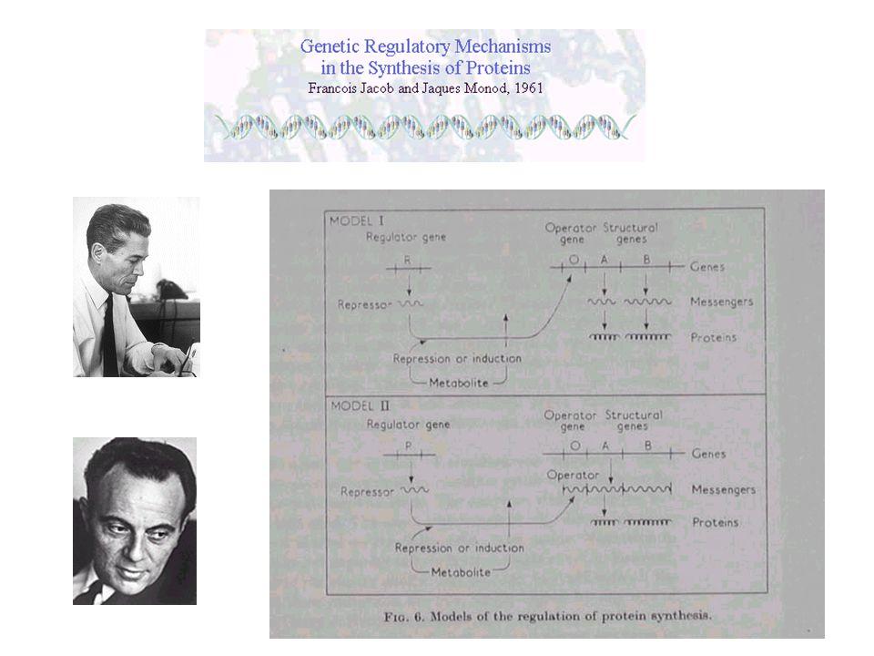Fenotipo Regolazione post-trascrizionale Regolazione post-traduzionale Citoplasma Proteina DNARNA Nucleo Regolazione trascrizionale Stabilità Trasporto Maturazione Traduzione Modificazione Modulazione funzionale
