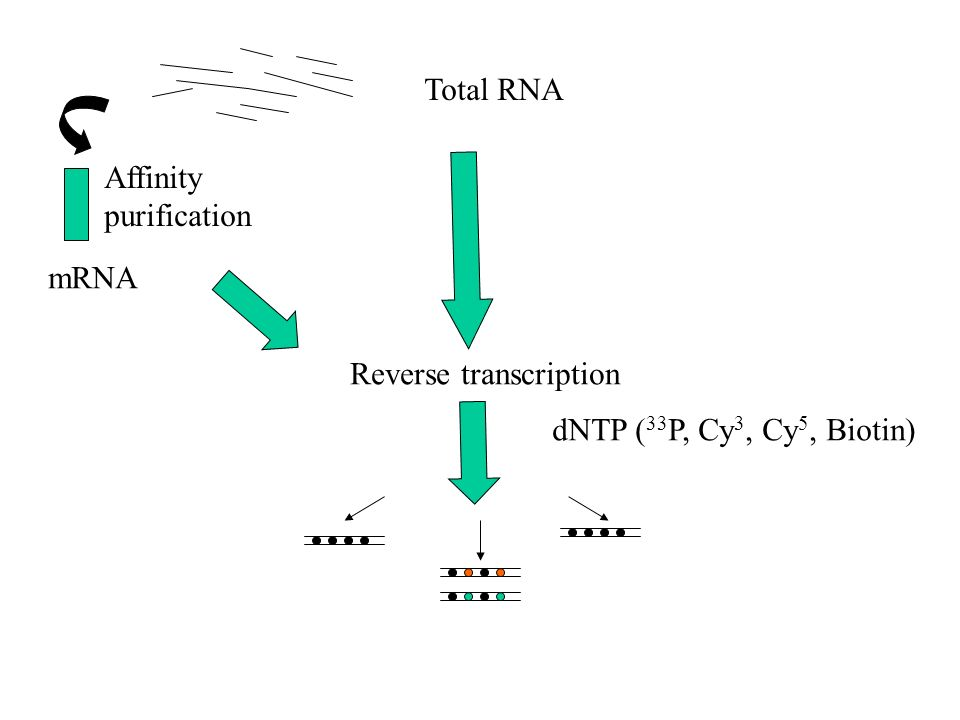 Total RNA Affinity purification mRNA Reverse transcription dNTP ( 33 P, Cy 3, Cy 5, Biotin)