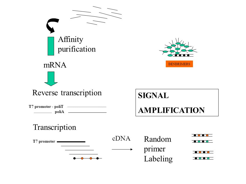 Affinity purification mRNA T7 promoter - poliT poliA Reverse transcription Transcription T7 promoter Random primer Labeling SIGNAL AMPLIFICATION DENDR