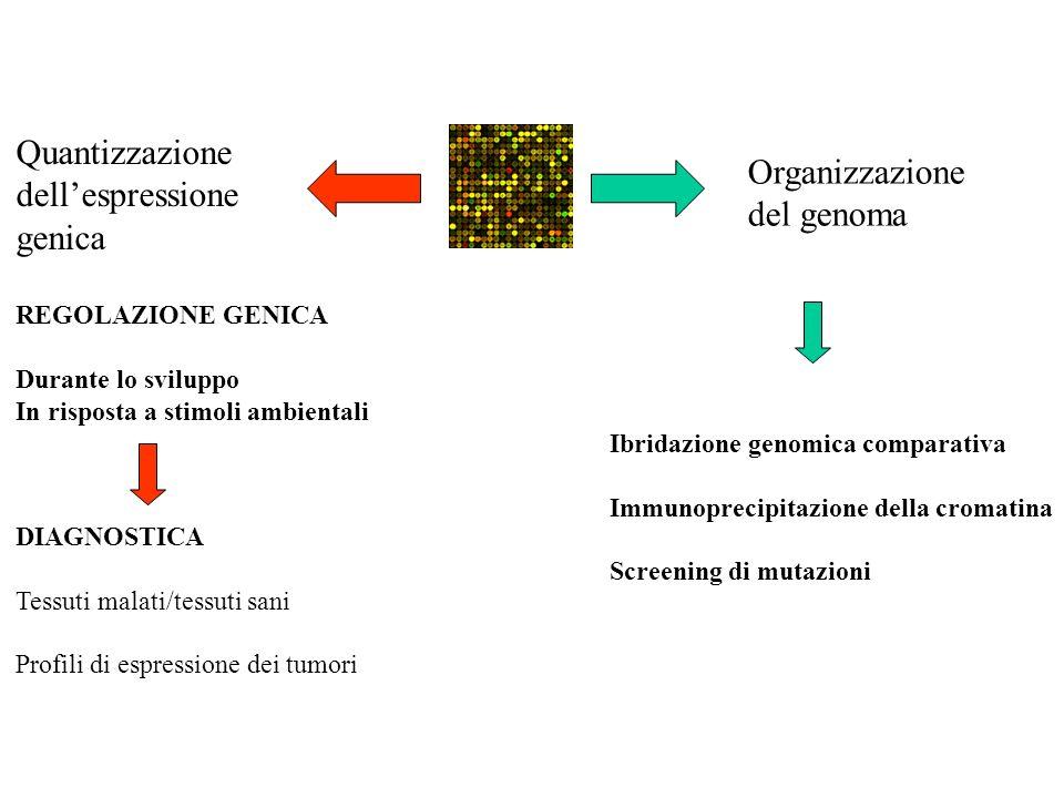 Quantizzazione dellespressione genica REGOLAZIONE GENICA Durante lo sviluppo In risposta a stimoli ambientali DIAGNOSTICA Tessuti malati/tessuti sani Profili di espressione dei tumori Organizzazione del genoma Ibridazione genomica comparativa Immunoprecipitazione della cromatina Screening di mutazioni