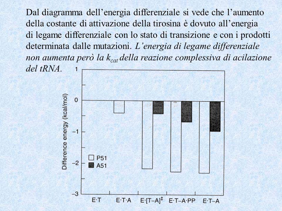 Dal diagramma dellenergia differenziale si vede che laumento della costante di attivazione della tirosina è dovuto allenergia di legame differenziale con lo stato di transizione e con i prodotti determinata dalle mutazioni.