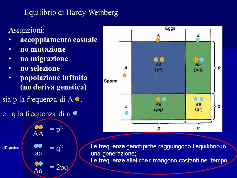 Equilibrio di Hardy-Weinberg Assunzioni: accoppiamento casuale no mutazione no migrazione no selezione popolazione infinita (no deriva genetica) = p 2