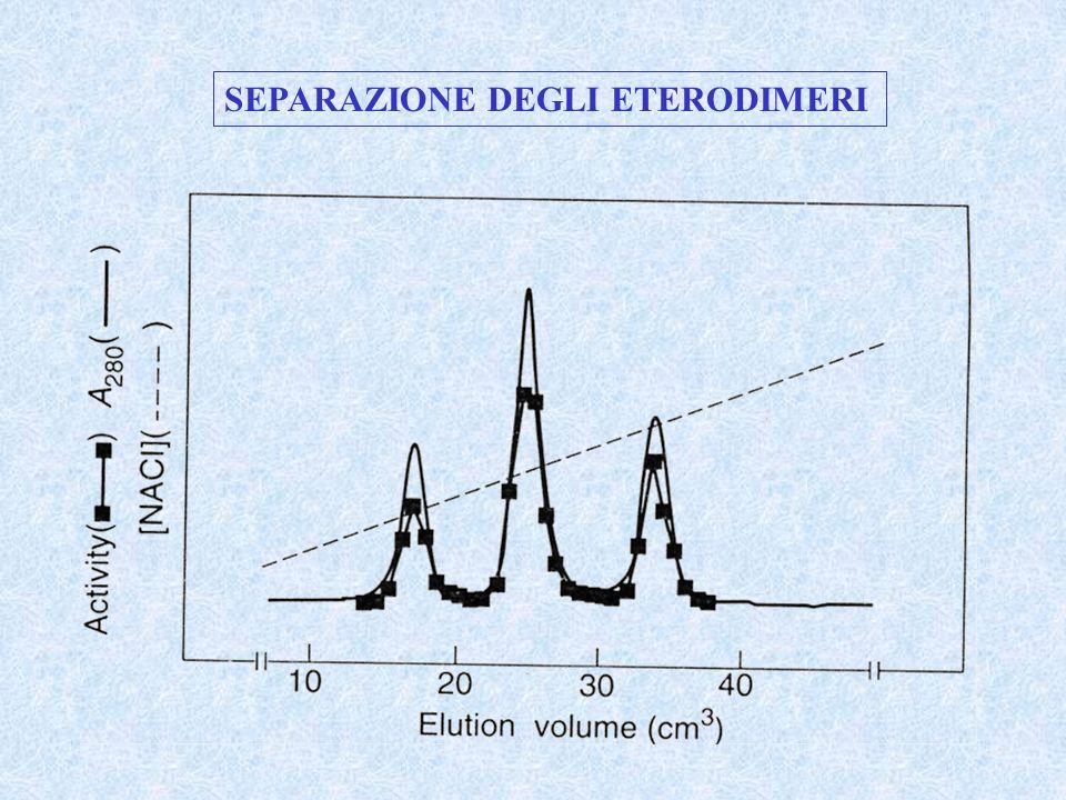 Una seconda mutazione H45N può essere introdotta in una delle due subunità degli eterodimeri per ridurre drasticamente la velocità di attivazione della tirosina in quella subunità.