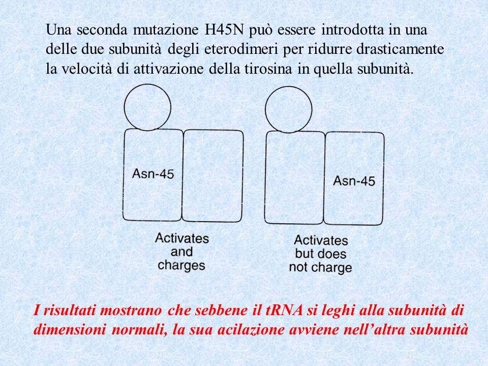 Una seconda mutazione H45N può essere introdotta in una delle due subunità degli eterodimeri per ridurre drasticamente la velocità di attivazione dell