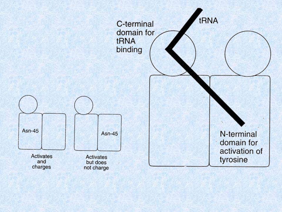 Lasimmetria è preesistente nellenzima in soluzione 0,5 moles of Tyr-AMP are formed at wild-type rate 0,5 moles at mutant rate = subunità attiva = subunità inattiva Se lasimmetria fosse indotta dalla formazione del Tyr-AMP, allora questo si formerebbe e sarebbe presente solo nelle subunità selvatiche, al contrario di quanto si osserva.