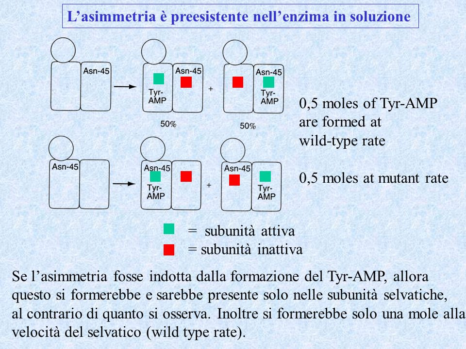 Lasimmetria è preesistente nellenzima in soluzione 0,5 moles of Tyr-AMP are formed at wild-type rate 0,5 moles at mutant rate = subunità attiva = subu