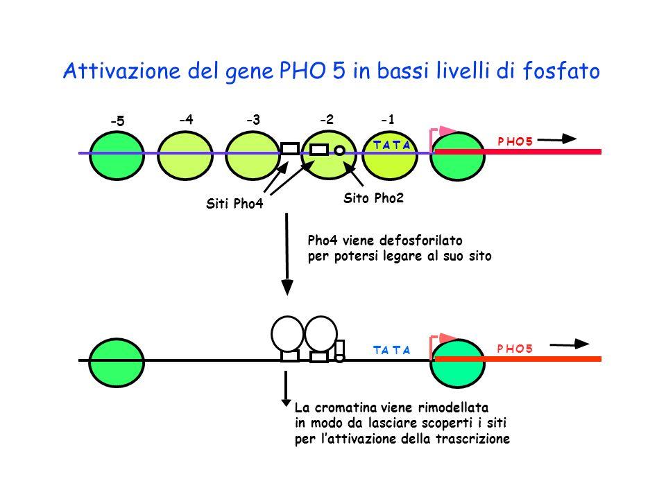 TATA PHO5 -1-2-3-4 -5 Attivazione del gene PHO 5 in bassi livelli di fosfato ATTA PHO5 Siti Pho4 Sito Pho2 Pho4 viene defosforilato per potersi legare