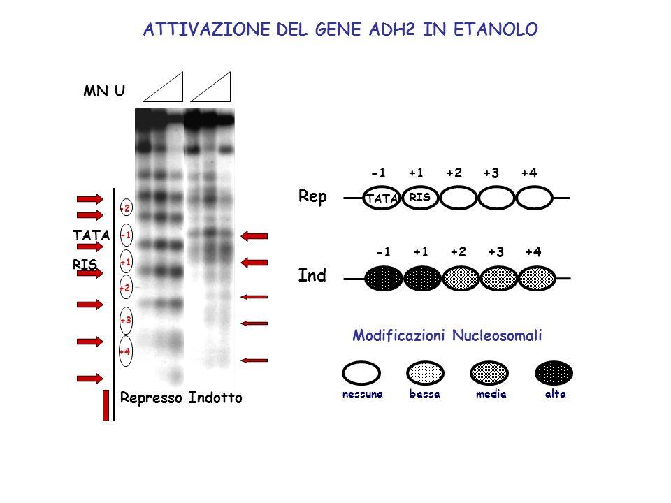 MN U -2 +1 +2 +3 +4 +1+2+3 +4 RIS TATA +1+2+3 +4 Rep Ind nessunamediaaltabassa Modificazioni Nucleosomali MN U RepressoIndotto ATTIVAZIONE DEL GENE AD