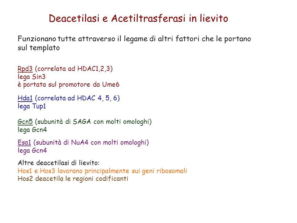 Deacetilasi e Acetiltrasferasi in lievito Funzionano tutte attraverso il legame di altri fattori che le portano sul templato Rpd3 (correlata ad HDAC1,
