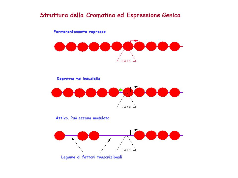 Struttura della Cromatina ed Espressione Genica Represso ma inducibile Attivo. Può essere modulato Permanentemente represso Legame di fattori trascriz