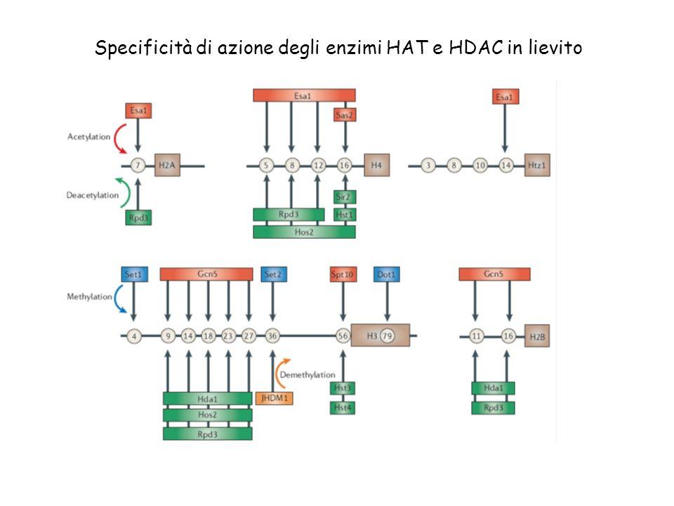 Specificità di azione degli enzimi HAT e HDAC in lievito
