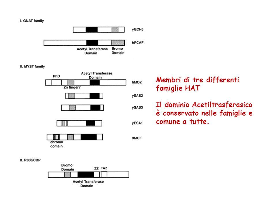 Membri di tre differenti famiglie HAT Il dominio Acetiltrasferasico è conservato nelle famiglie e comune a tutte.
