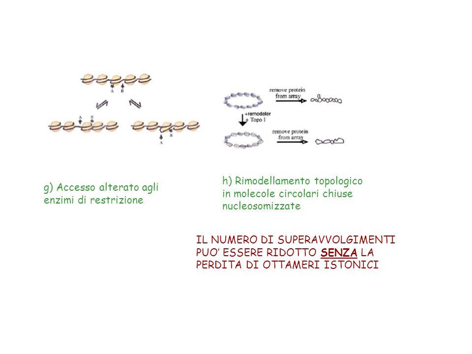 g) Accesso alterato agli enzimi di restrizione h) Rimodellamento topologico in molecole circolari chiuse nucleosomizzate IL NUMERO DI SUPERAVVOLGIMENT