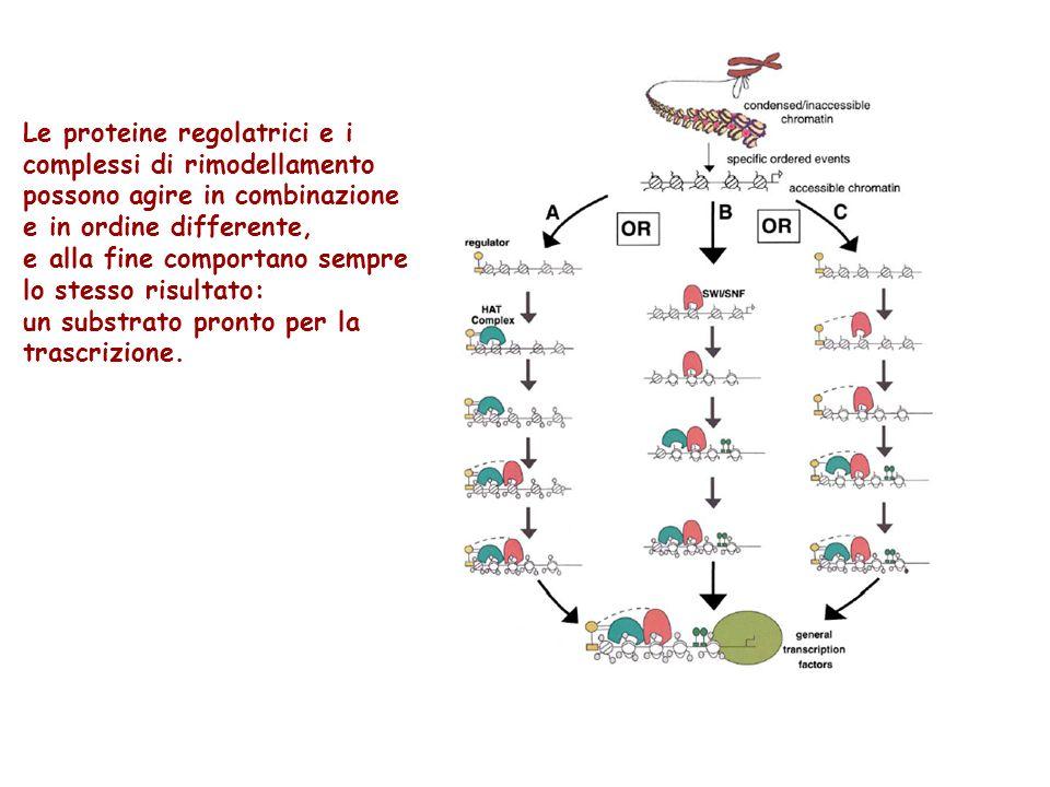 Le proteine regolatrici e i complessi di rimodellamento possono agire in combinazione e in ordine differente, e alla fine comportano sempre lo stesso
