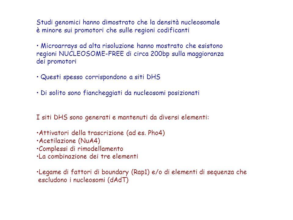 I siti DHS sono generati e mantenuti da diversi elementi: Attivatori della trascrizione (ad es. Pho4) Acetilazione (NuA4) Complessi di rimodellamento
