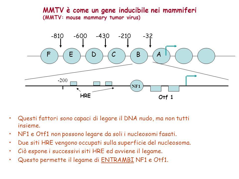 FEDCBA -32-210-430-600-810 -200 NF1 HRE Otf 1 Questi fattori sono capaci di legare il DNA nudo, ma non tutti insieme. NF1 e Otf1 non possono legare da