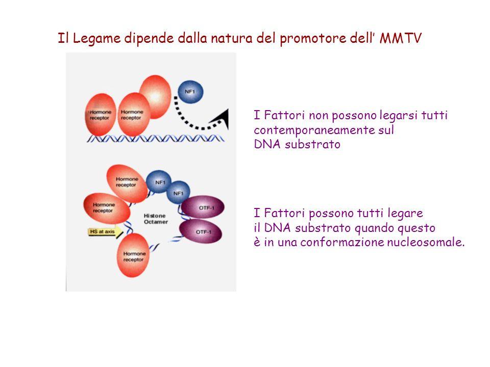 I Fattori non possono legarsi tutti contemporaneamente sul DNA substrato I Fattori possono tutti legare il DNA substrato quando questo è in una confor