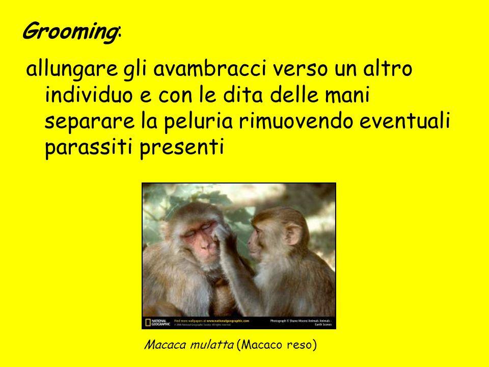 Grooming: Macaca mulatta (Macaco reso) allungare gli avambracci verso un altro individuo e con le dita delle mani separare la peluria rimuovendo event