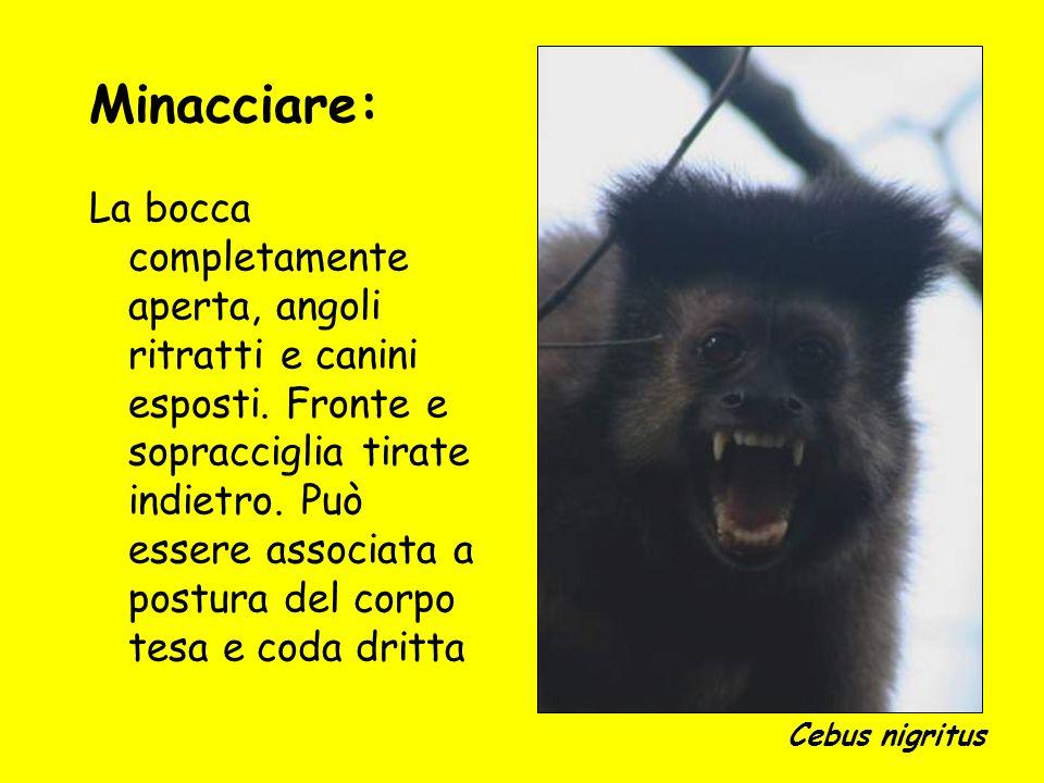Minacciare: La bocca completamente aperta, angoli ritratti e canini esposti. Fronte e sopracciglia tirate indietro. Può essere associata a postura del