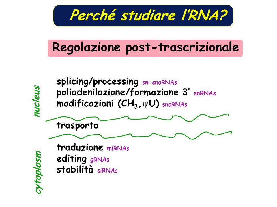 Perché studiare lRNA? splicing/processing sn-snoRNAs poliadenilazione/formazione 3 snRNAs modificazioni (CH 3, U) snoRNAs trasporto traduzione miRNAs