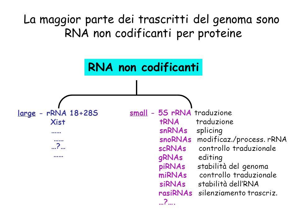 RNA non codificanti large - rRNA 18+28S Xist small - 5S rRNA traduzione tRNA traduzione snRNAs splicing snoRNAs modificaz./process. rRNA scRNAs contro