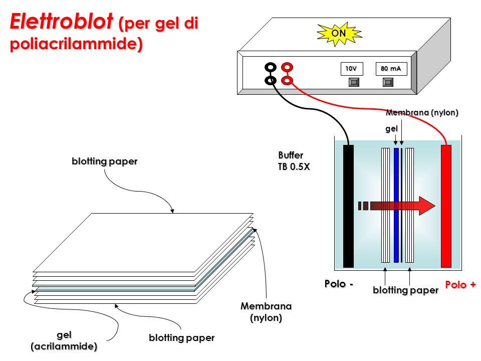 Elettroblot (per gel di poliacrilammide) Buffer TB 0.5X blotting paper gel gel(acrilammide) Membrana(nylon) 10V 80 mA ON Membrana (nylon) Polo + Polo
