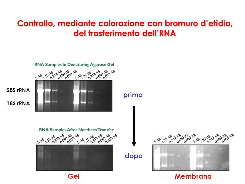 Controllo, mediante colorazione con bromuro detidio, del trasferimento dellRNA Membrana prima 28S rRNA 18S rRNA Gel dopo