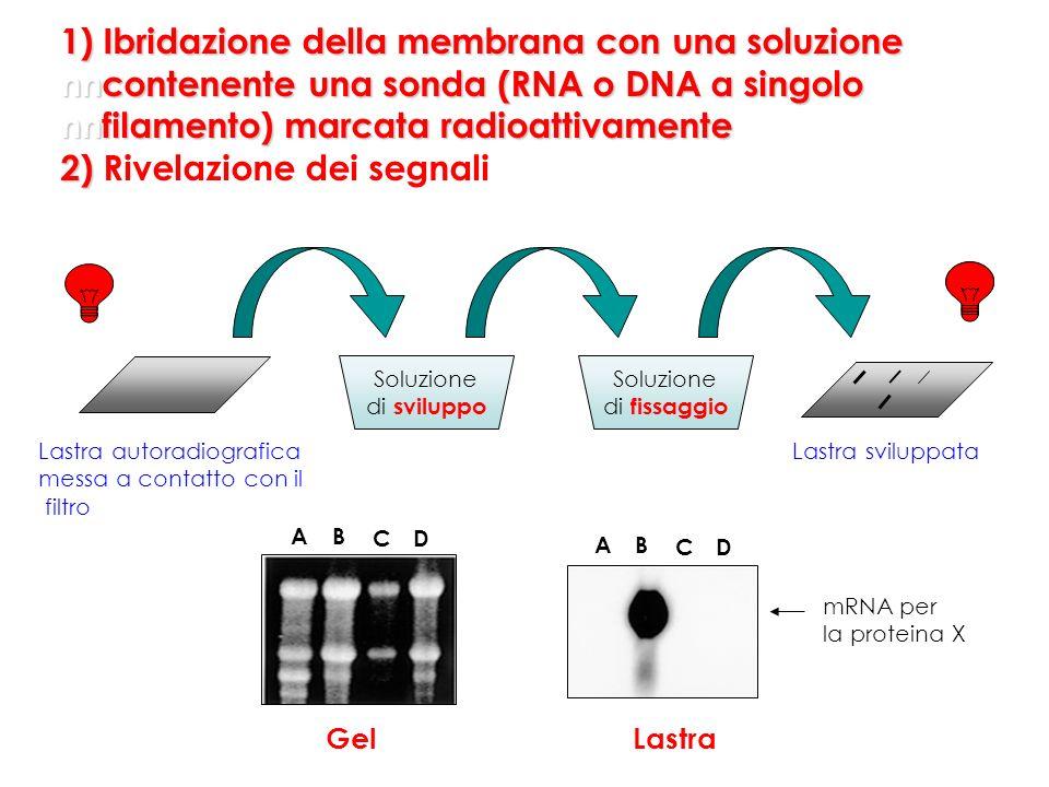 AB CD Gel Soluzione di sviluppo Soluzione di fissaggio Lastra mRNA per la proteina X AB CD Lastra autoradiografica messa a contatto con il filtro Last